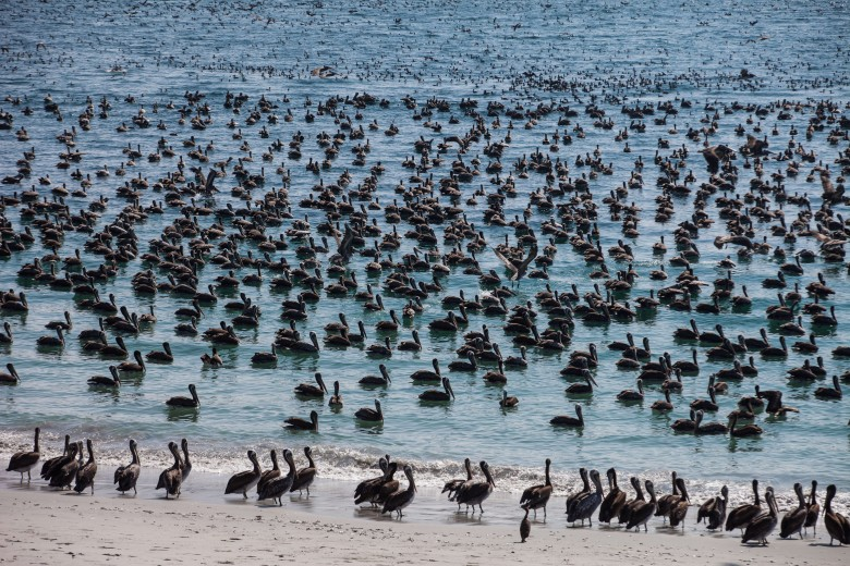 Varazón en las costas de Mejillones provoca la llegada de miles de aves depredadoras. Foto: Matías Quilodrán.