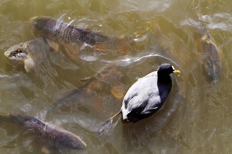 Talcahuano: Aves y peces conviven en perfecta armonía en el canal Ifarle. Foto: Rodrigo Acuña D.
