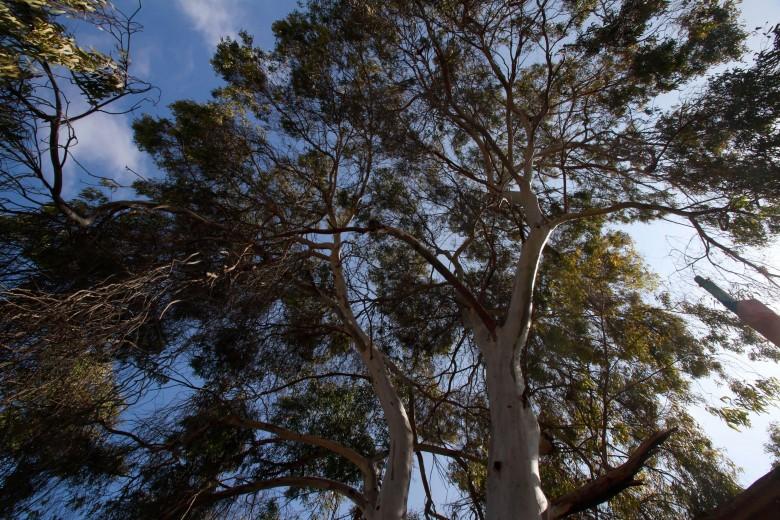 Con más de quince metros de altura, este eucalipto es el árbol más representativo de la población El Ancla, en el sector alto de Antofagasta. El árbol, de más de cincuenta años de vida, es solicitado por los propios vecinos en invierno, quienes utilizan sus hojas para hacer infusiones.